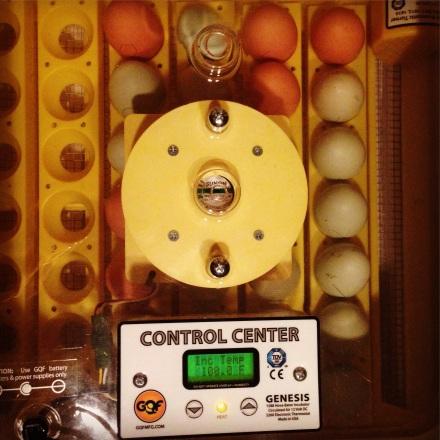 Eggs in Incubator